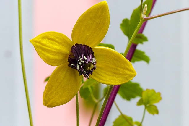 clematis tangutica, yellow, flower, golden tiara