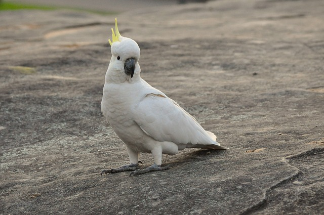 cockatoo, parrot, bird, feather, fly, wildlife, animal