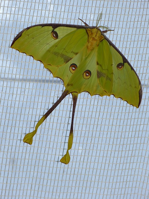 comet moth, butterfly, large, eyespots, large butterfly