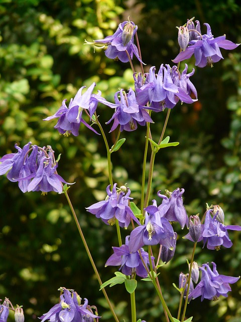 common akelei, columbine, flower, plant, blue, violet