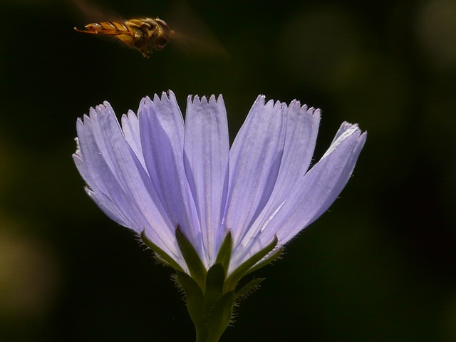common chicory, chicory, flower, hoverfly, light blue
