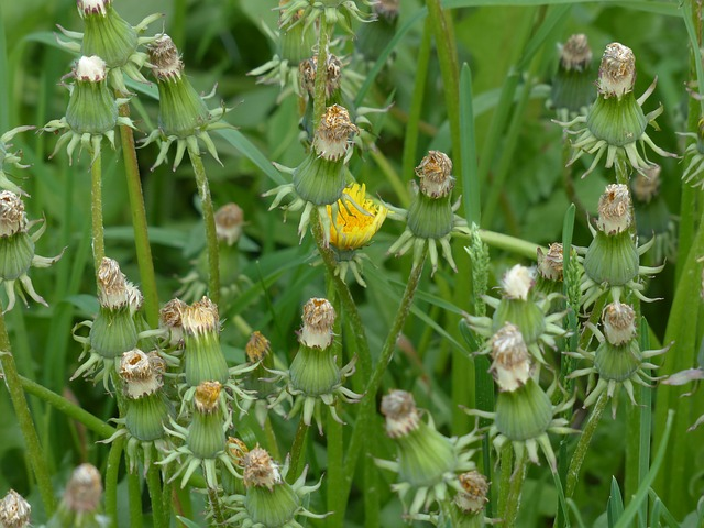 common dandelion, pointed flower, inflorescence, faded