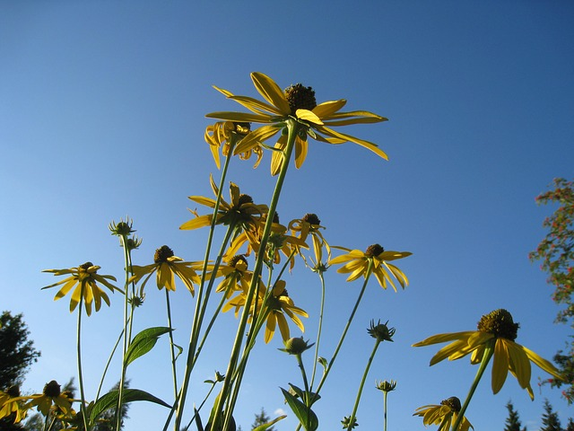coneflower, flowers, yellow, summer, sky, blue, colors