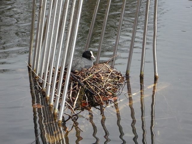 coot, nest, breed, swim, water, waterfowl, ralle, cage