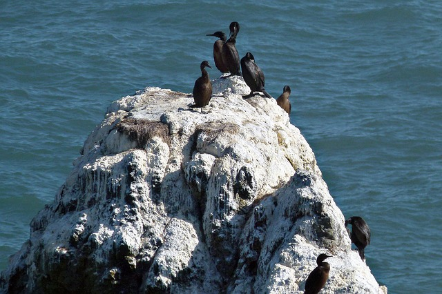 cormorants, animals, birds, water, rock, feathers