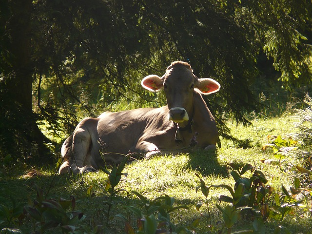 cow, back light, animal, pasture, alm, ears
