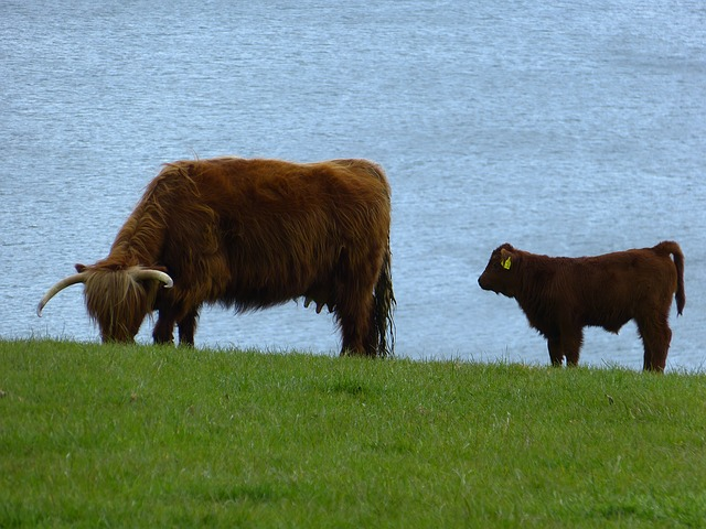 cow, calf, beef, scottish hochlandrind, highland beef