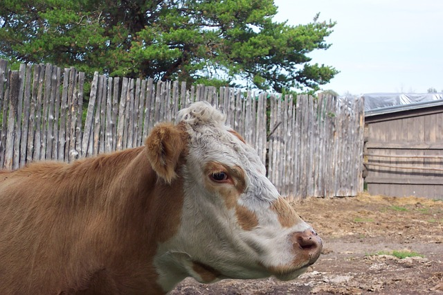 cow, cattle, farm, country, rural, meat, beef