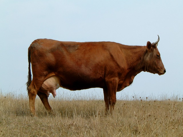 cow, field, horns, brown, profile, nature