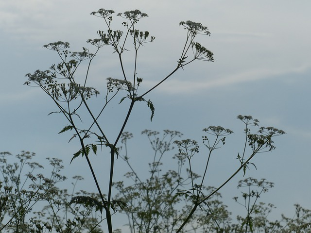 cow parsley, flower, back light, white, meadow