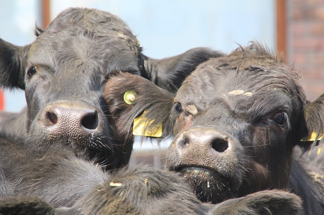 cows, animal, faces, agriculture, cow, milk, cattle