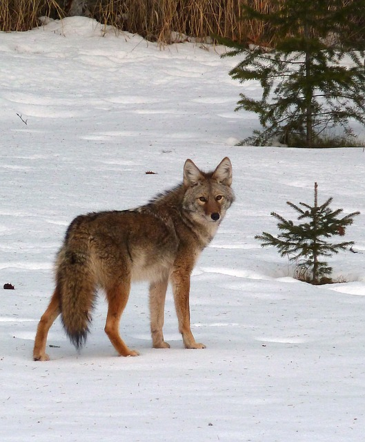 coyote, canis latrans, animal, canine, wild life