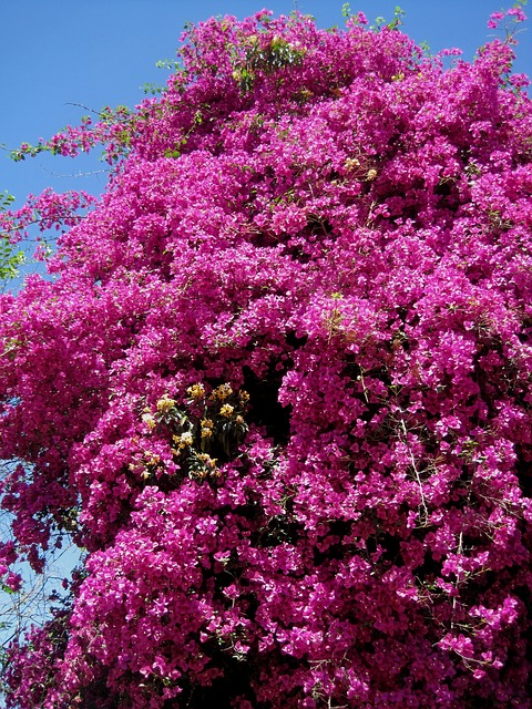 creeper, tall, bougainvillea, deep pink, bright