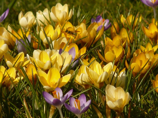 crocus, flower, spring, bloom, colorful, color, plant