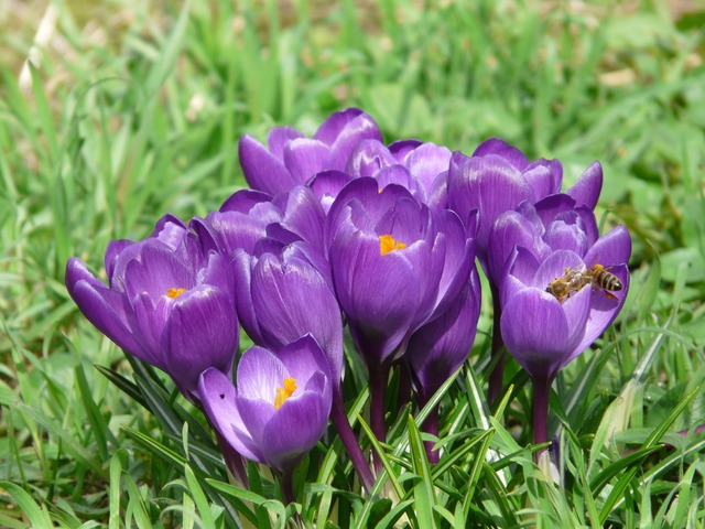 crocus, plant, garden, close, macro, flowers, spring