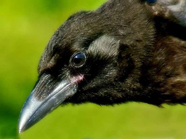 crow, bird, animal, close-up, black, nature