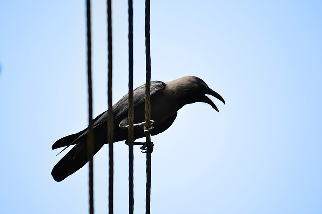crow, crow on electric wire, scavenger, sri lanka