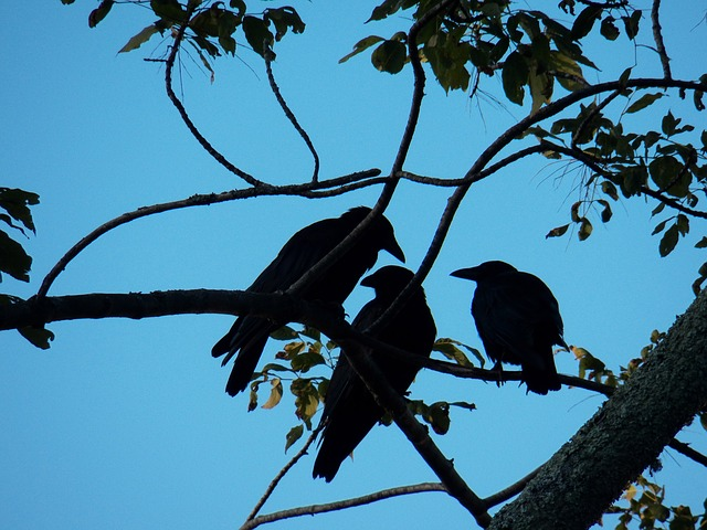 crow, crows, blackbird, blackbirds, bird, birds, tree