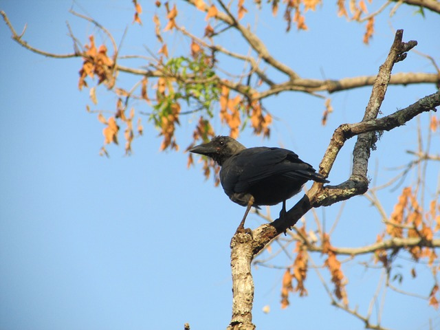 crow, raven, bird, beak, black, dharwad, india