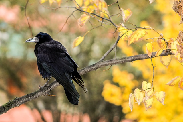 crow, rook bird, raven, autumn, list, peace of mind