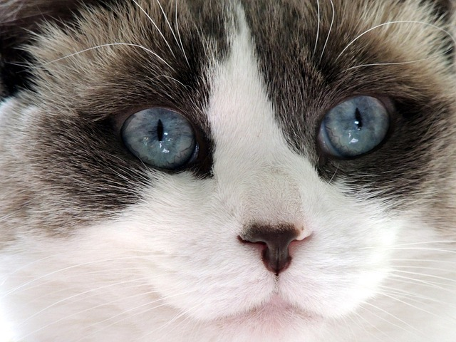 cute, cat, ragdoll, face, blue, eyes, nose, mouth