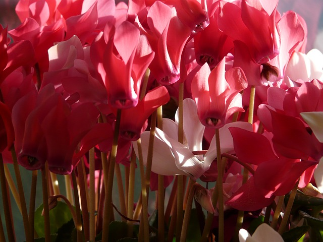 cyclamen, flower, pink, white, flora, ornamental plant
