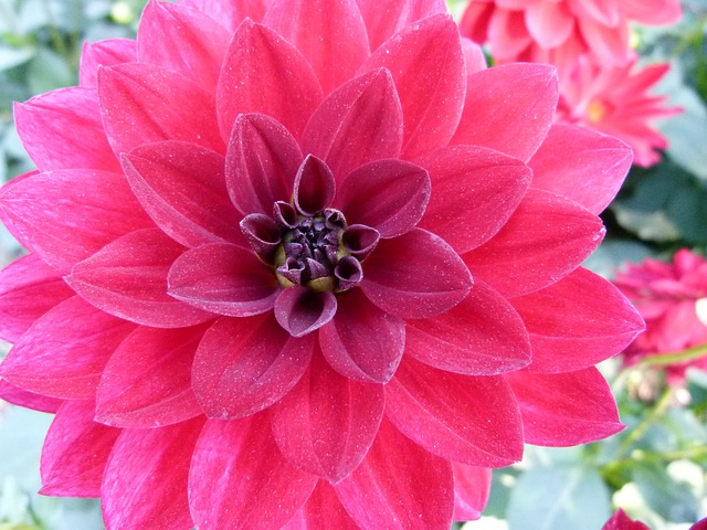dahlia, flower, plant, garden, nature, outside, beauty
