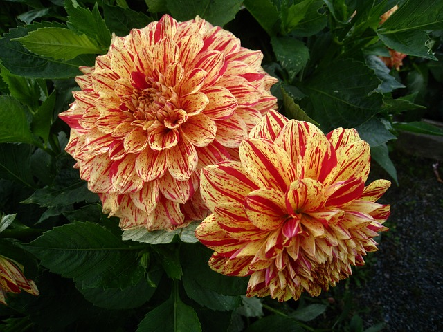 dahlia, flowers, two tone, orange, yellow, summer