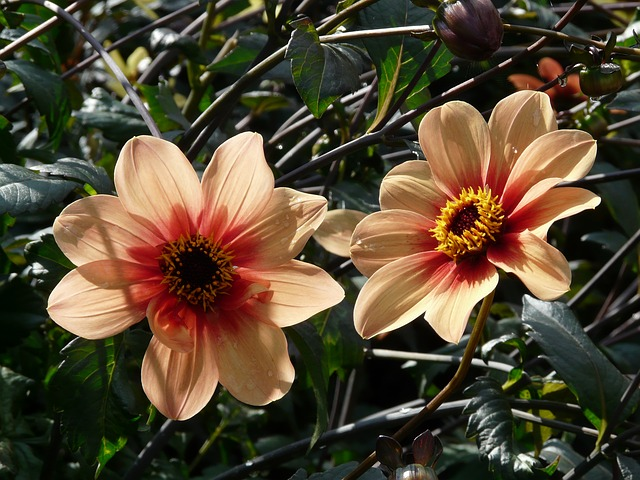 dahlia garden, orange, reddish, back light, flower