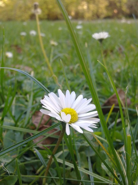 daisy, flower, grass, meadow, close