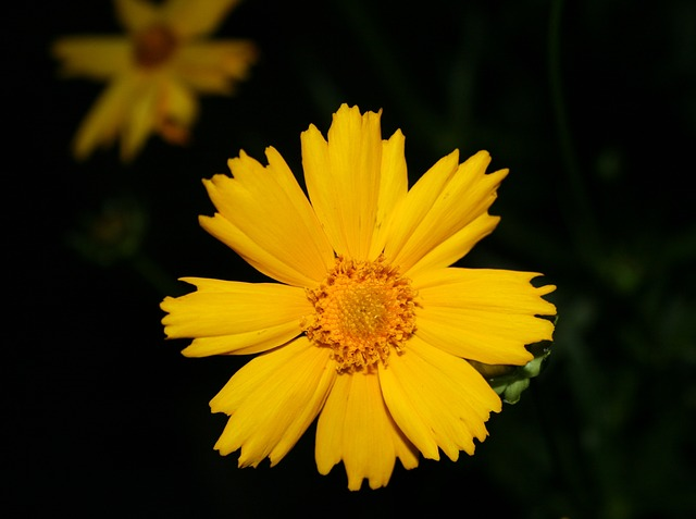 daisy, flower, spring, yellow