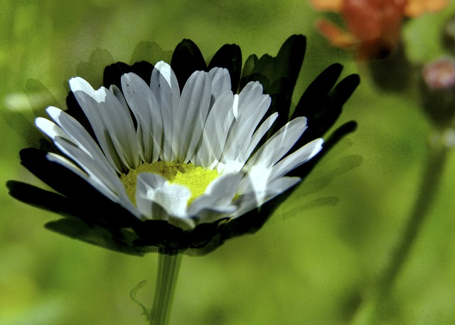 daisy, white, wild flower, meadow, art work
