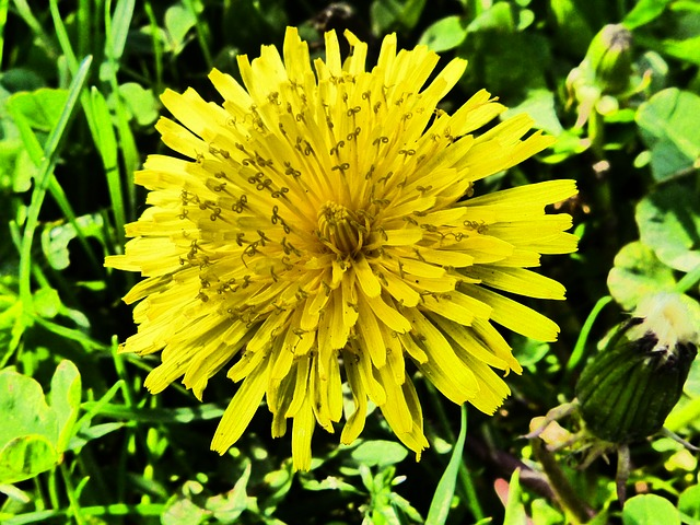 dandelion, flower, yellow, spring