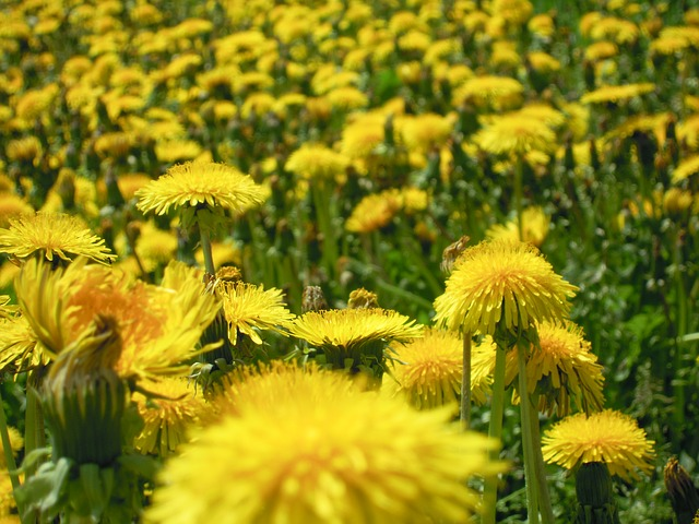 dandelion, flowers, plant, nature, spring, yellow