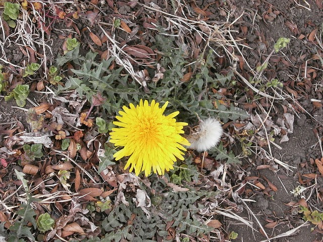 dandelion, flowers, yellow, plant, on the roadside