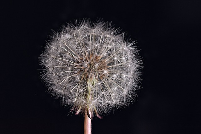 dandelion, nature, flower, summer, roadside, plant