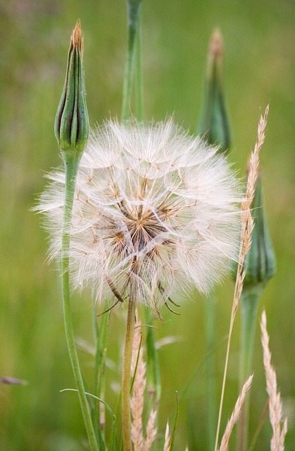 dandelion, puff, flower, close-up, delicate, weed