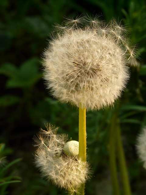 dandelion, seeds, flower, meadow, spring, stalk, basket