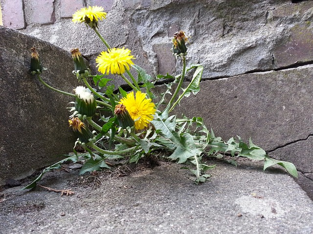 dandelion, wall, flower, stairs