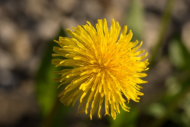 dandelion, yellow, orange, flowers, flower, plant