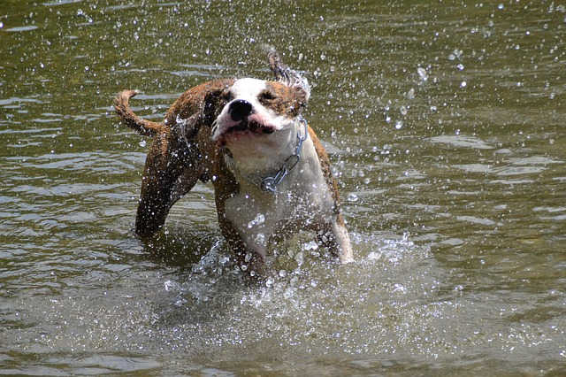 dog, american stefford, race, puppies, dogs, splashing