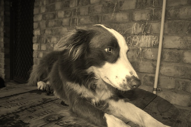 dog, collie, breed
