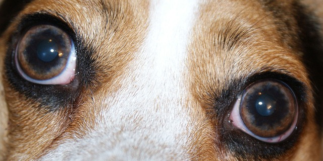 dog, eye, eyes, pet, animal