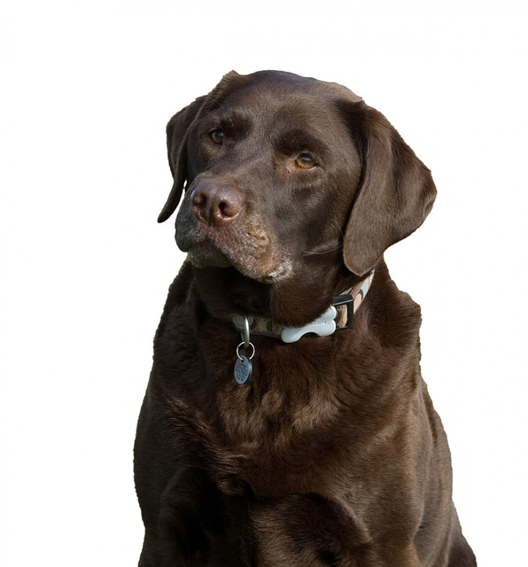 dog, labrador, chocolate, brown, isolated, white
