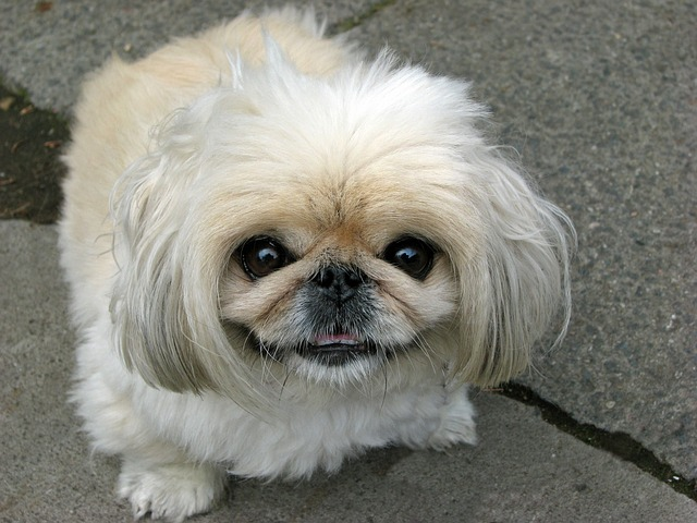 dog, pekingese, beautiful, animal, cute, canine, pet