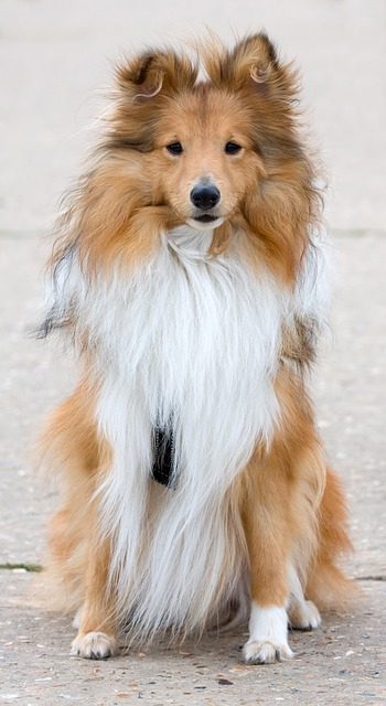 dog, shetlie, shetland sheepdog, sitting, portrait