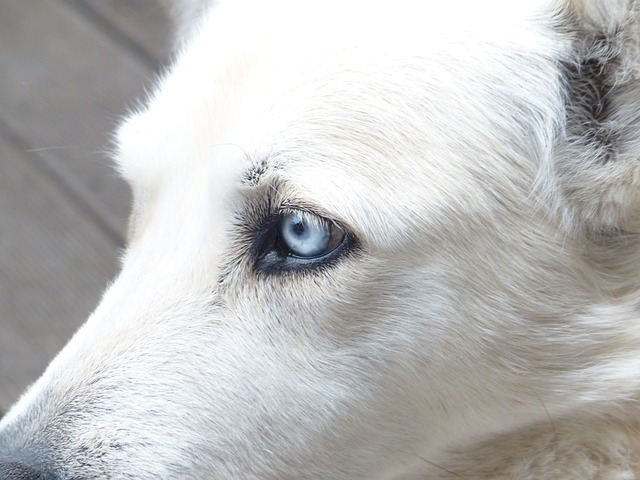 dog, white, face, eyes, portrait, fur, husky mongrel