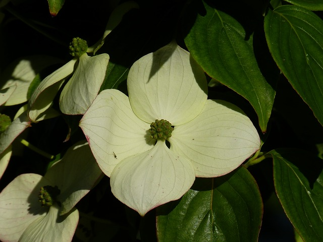 dogwood, flower, white, cornus, horn shrub
