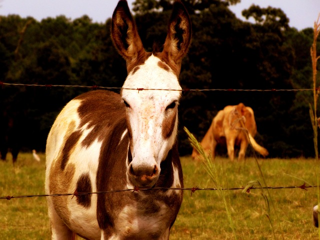 donkey, jackass, farm, animal, white, brown