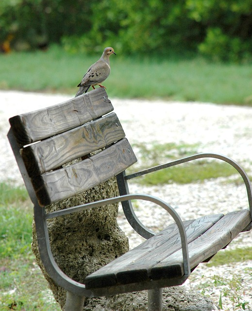 dove, bird, bench, seat, park, tranquility, gray